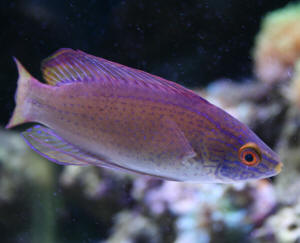 82108 02120C20pylei - Breeding-picasso-grade-clown-fish-pair-wrasse-sale